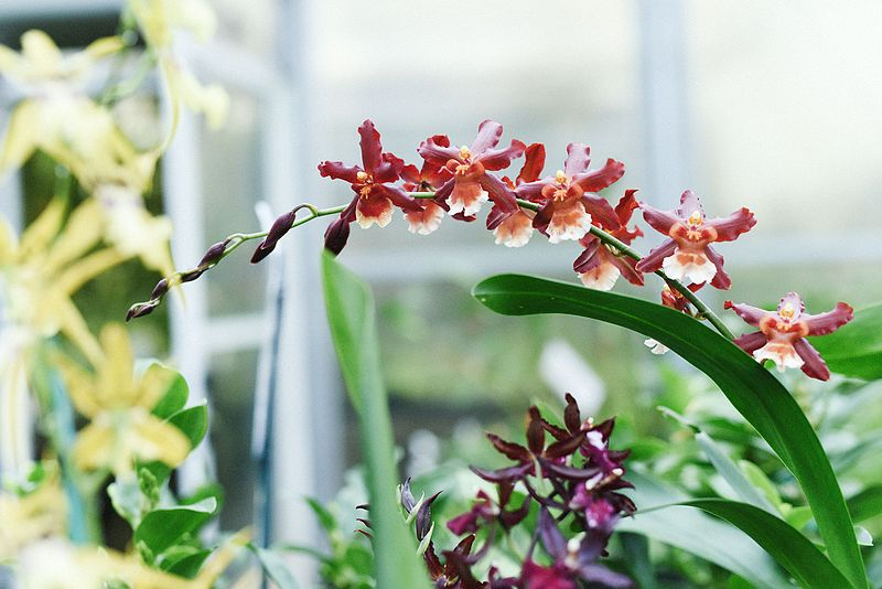 Best Orchids in Indonesia