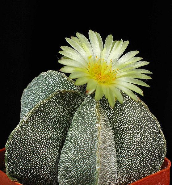 Astrophytum Cactus mini kaktus, tipe kaktus, tipe sukulen