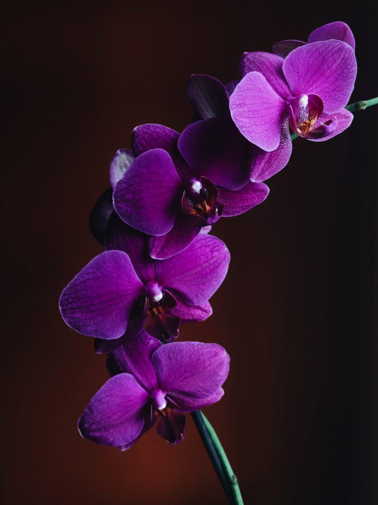 anggrek Phalaenopsis Amabilis