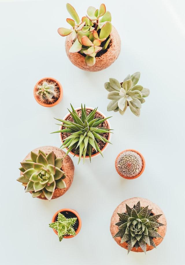 Cactus decorative plant