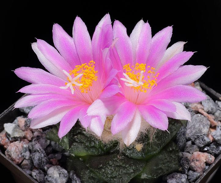 Ariocorpus cactus, tipe kaktus, tipe sukulen