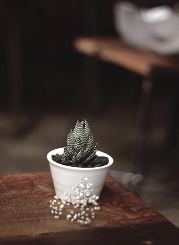 Haworthia Attenuata Cactus mini kaktus, tipe kaktus, tipe sukulen