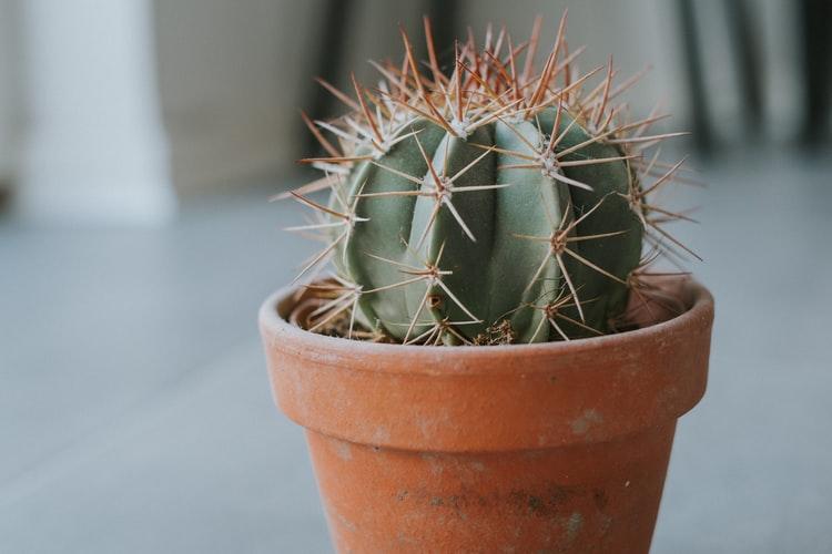Ferocactus Cactus mini kaktus