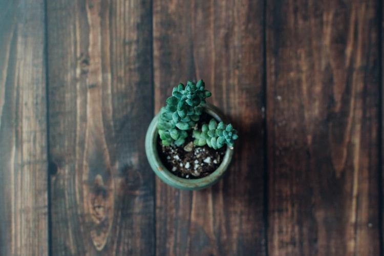 Sedum Succulent/ Burro's Tail