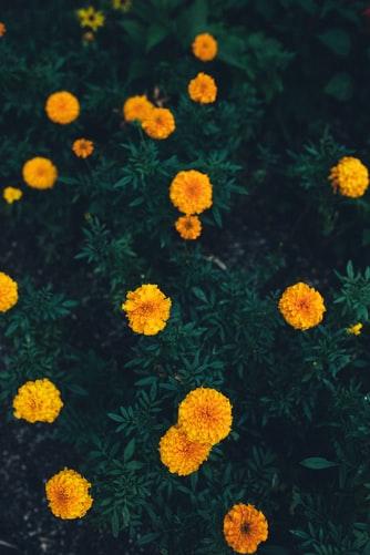 Marigold tanaman pengusir nyamuk