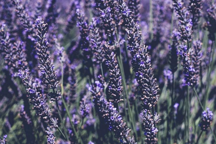 Lavender mosquito repllent plant