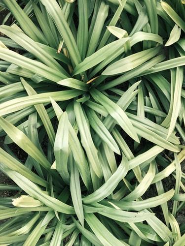 Lemongrass mosquito repllent plant