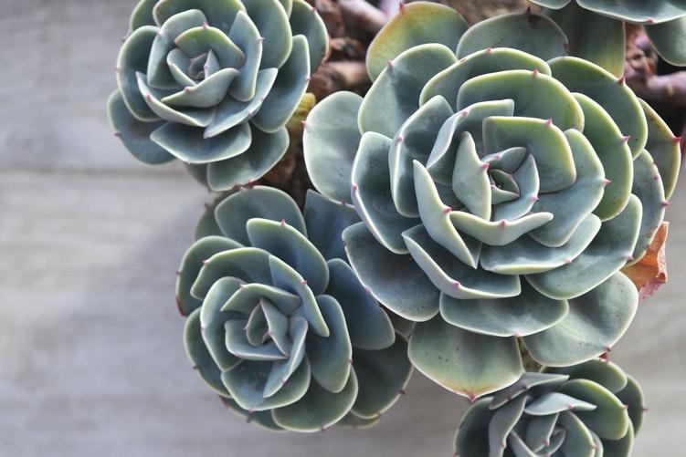 Echevaria Agavoides, tipe kaktus, tipe sukulen