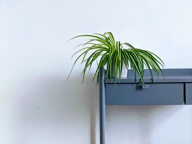 Spider plant decoration