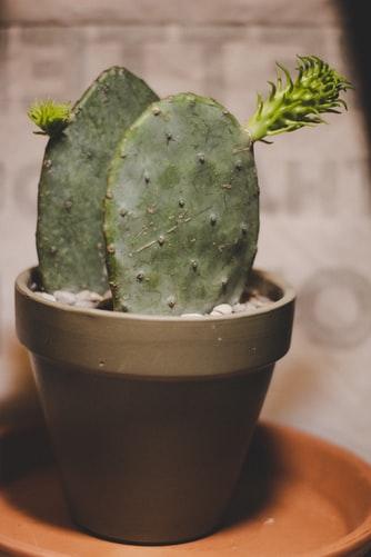 Opuntia Cochenillifera Cactus mini kaktus