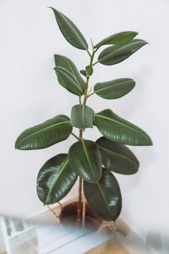 Rubber Plant decoration