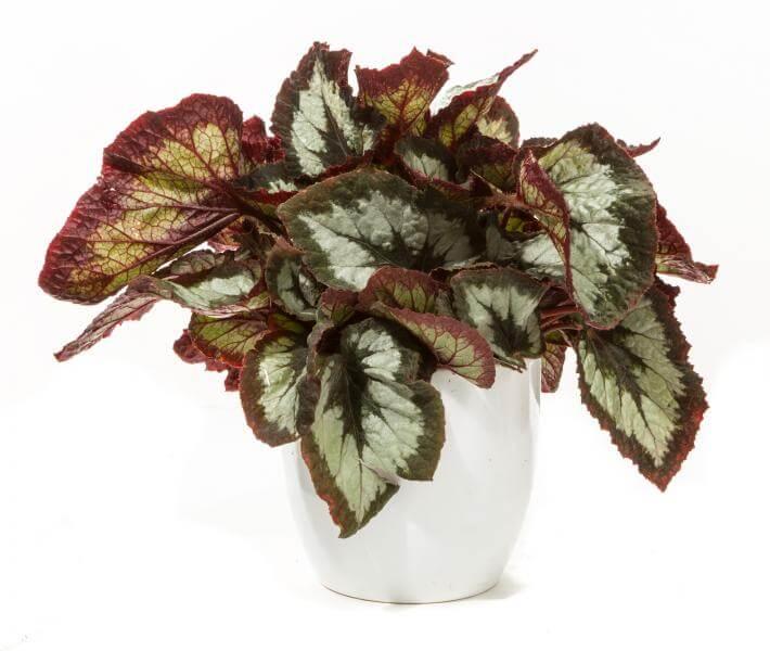 tanaman rex begonia, tanaman hias, tanaman dekorasi rumah, begonia
