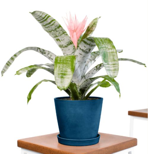 tanaman bromeliad, tanaman hias, tanaman dekorasi rumah, bromeliad