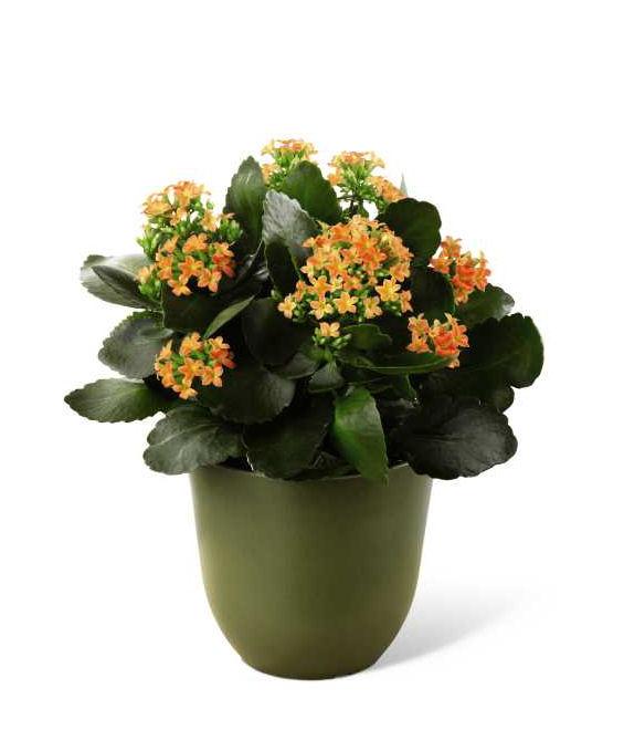 tanaman kalanchoe, tanaman hias, tanaman dekorasi rumah, kalanchoe