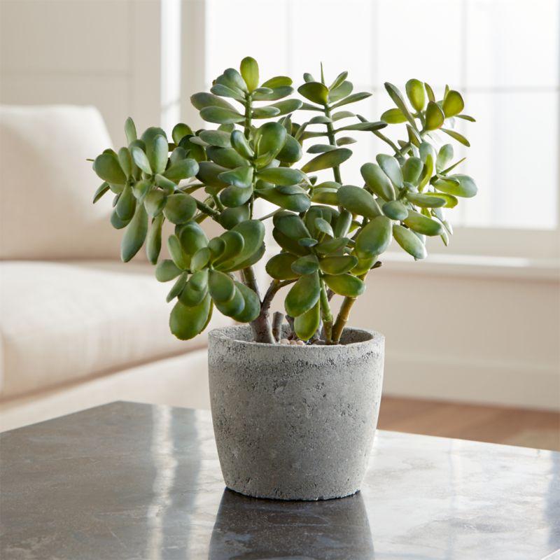 tanaman jade, tanaman hias, tanaman dekorasi rumah, jade