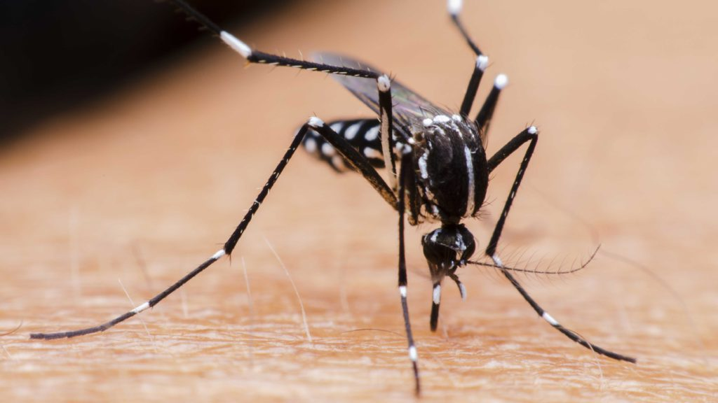 Aedes Aegypti Demam Berdarah, Virus Demam Berdarah, DBD