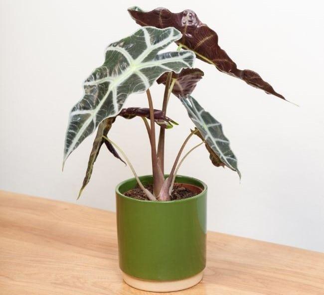 tanaman kuping gajah, tanaman hias, tanaman dekorasi rumah, alocasia polly dragon