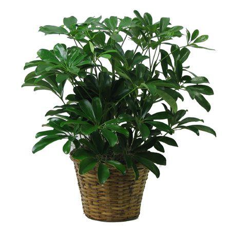 tanaman payung, tanaman hias, tanaman dekorasi rumah, schefflera