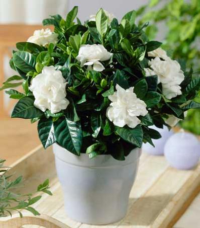 bunga gardenia, tanaman hias, tanaman dekorasi rumah, gardenia