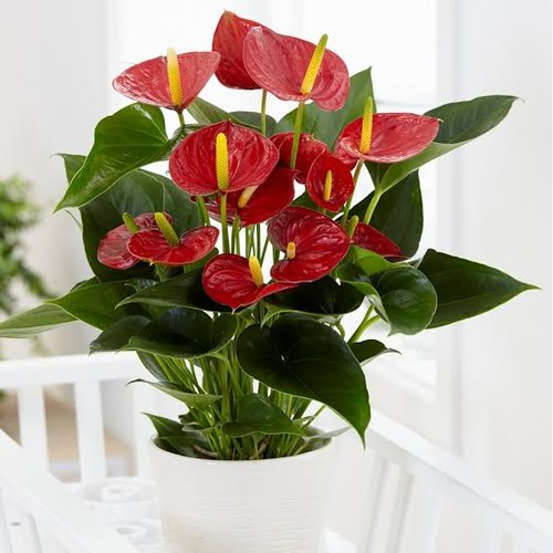 tanaman anthurium merah, tanaman hias, tanaman dekorasi rumah, anthurium andreanum