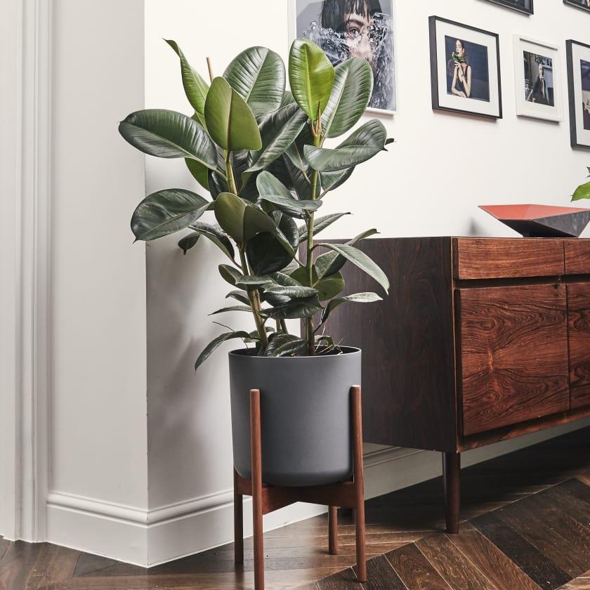 tanaman karet, tanaman hias, tanaman dekorasi rumah, ficus elastica