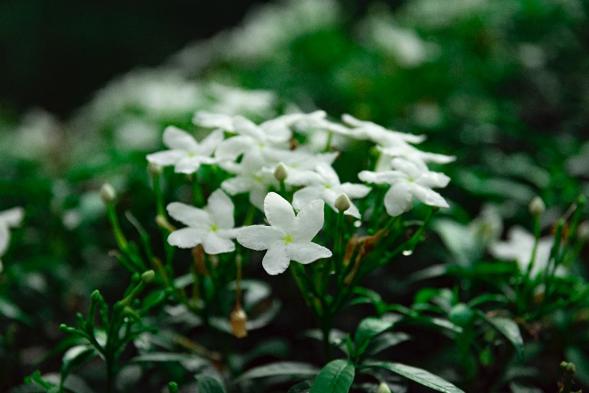 bunga putih melati