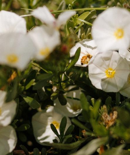 petunia bunga melati