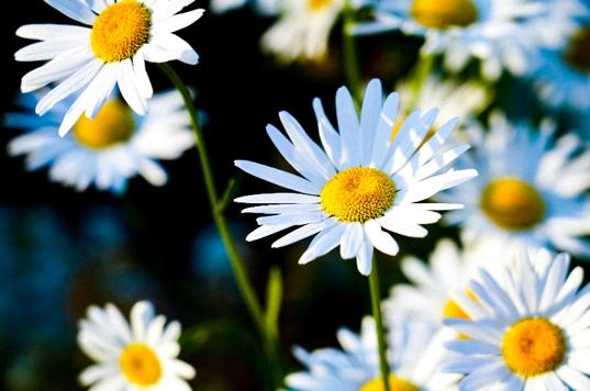aster bunga putih