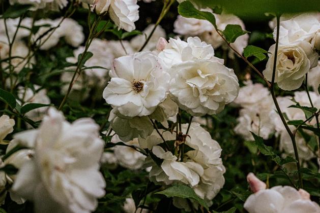 bunga putih mawar