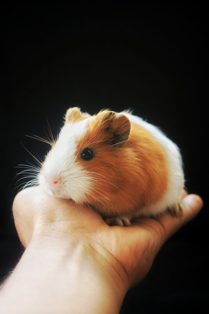 hamster as pets