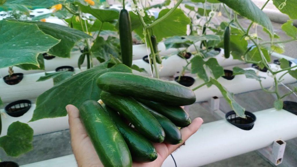 hydroponic cucumber