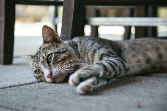 adopt cats jakarta