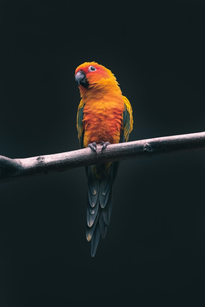 bird sun conure as pet