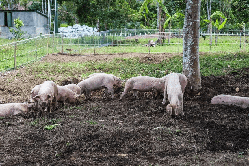 bali highlands organic bali pork
