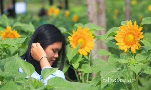 taman bunga matahari